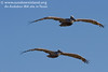 <h2>Young juvenile brown pelicans flying in a typical formation just over our heads.  </h2><em>Photo credit: Marcy Crowe Spears</em>