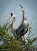 Great Blue Heron couple—in splendid breeding plumage... <em>Phtographer: Diane D. Nunley</em>
