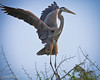 Great Blue Heron landing. <em>Phtographer: Diane D. Nunley</em>