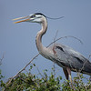 Great Blue Heron Great Blue Heron on Chester Island. <em>Photo credit: Diane D. Nunley<em>