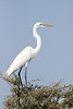 "<div align=""left"">This lone Great Egret was standing off to himself having chased another bird off the tree.<em>Photo Credit: May 2009, Marcy Spears.</em></div>"