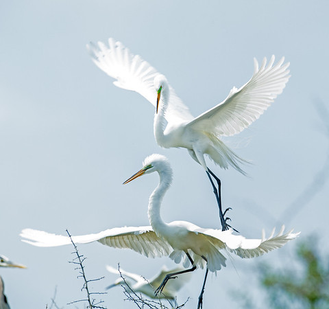 Great Egrets in breeding plumage fighting for space on the same tree. Photo credit: Diane Nunley