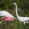 Roseate Spoonbill and Great Egrets Roseate Spoonbill with Great Egrets on Chester Island. <em>Photo credit: Diane D. Nunley<em> Spoonbill