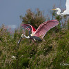 Roseate Spoonbill Roseate Spoonbill with Great Egret on Chester Island. <em>Photo credit: Diane D. Nunley<em>