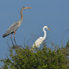 A Great Blue Heron and a Great Egret in breeding plumage. <em>Photo credit: Peggy Wilkinson<em>