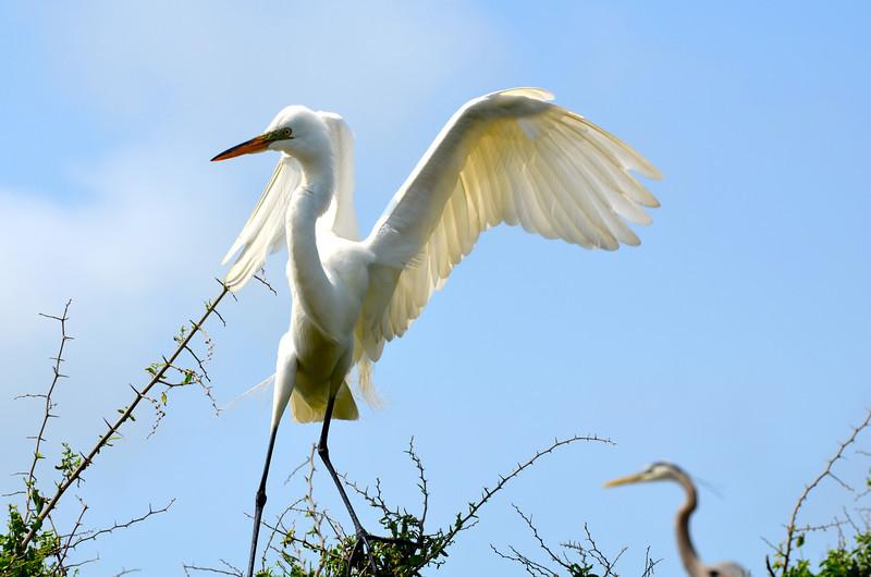 Great Egret. <em>Photo credit: Peggy Wilkinson </em></div>