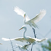 Fighting Great Egrets in full breeding plumage. <em>Photo credit: Diane D. Nunley</em></div>