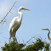 Great Egret. <em>Photo credit: Peggy Wilkinson </em></div>