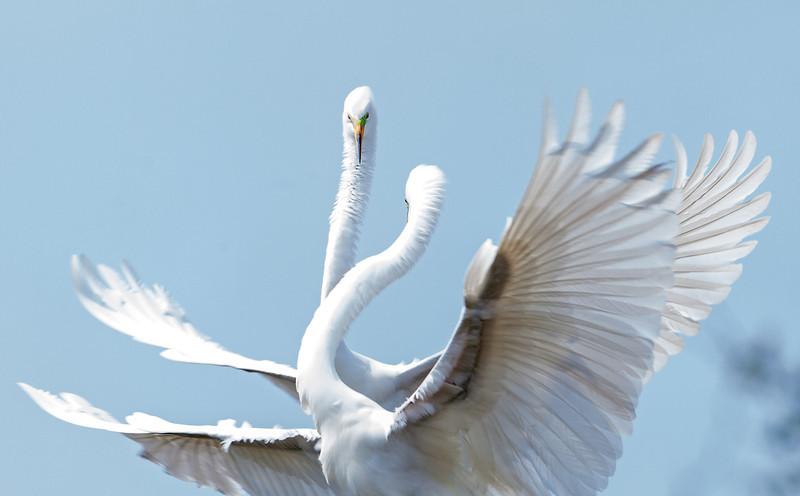 Fighting Great Egrets in full breeding plumage. <em>Photo credit: Diane D. Nunley</em></div>