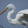 Great Egret Great Egret on Chester Island. <em>Photo credit: Diane D. Nunley<em>