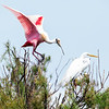 Roseate Spoonbill and Great Egret. <em>Photo credit: Diane D. Nunley</em></div>