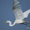 Great Egret Great Egret on Chester Island. <em>Photo credit: Diane D. Nunley<em>