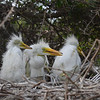 Great Egret siblings wait patiently for a parent to bring them food. <em> Photo credit: Peggy Wilkinson</em>