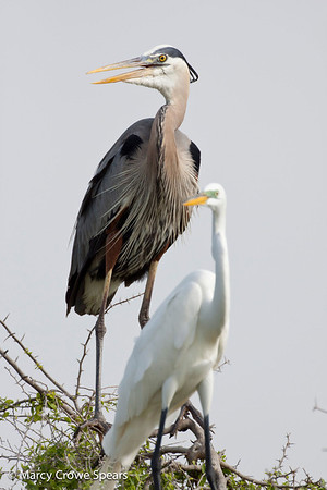 Great Blue Heron and Great Egret (front). <em>Phtographer: Marcy Crowe Spears</em>