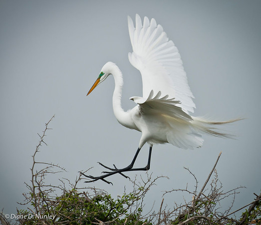 "This terrific shot of a Great Egret in its brightest breeding plumage was taken by Diane Nunley during our ""Nursery Visit to Sundown Island."""