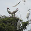 White Ibis (long curved orange bills) and Great Egrets. <em> Photo credit: Donna Anderson</em>