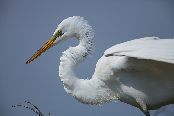 Great Egret on Chester Island. <em>Photo credit: Diane D. Nunley<em>