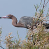 Reddish Egret on Chester Island. <em>Photo credit: Diane D. Nunley<em>