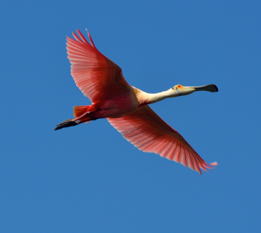 Roseate Spoonbill in breeding plumage. <em>Photo credit: Peggy Wilkinson<em>