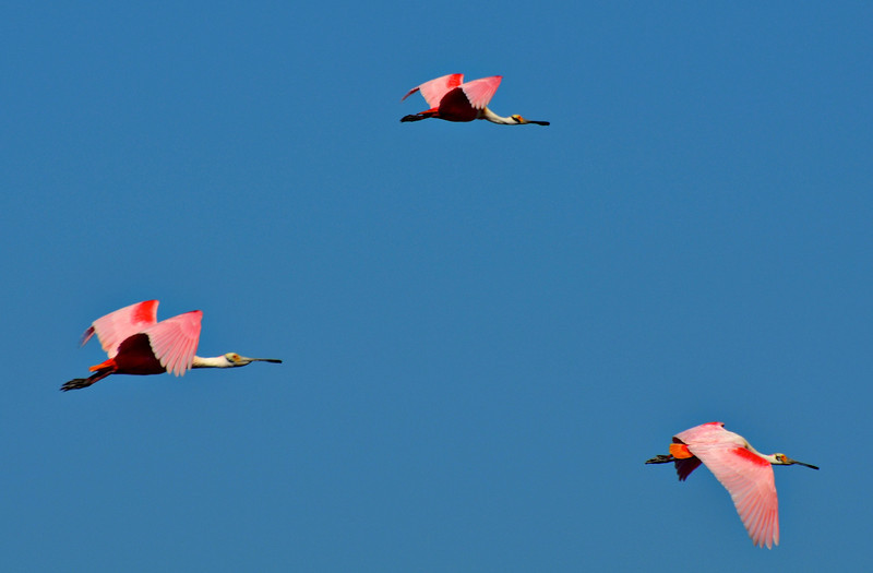 Roseate Spoonbills in breeding plumage. <em>Photo credit: Peggy Wilkinson<em>
