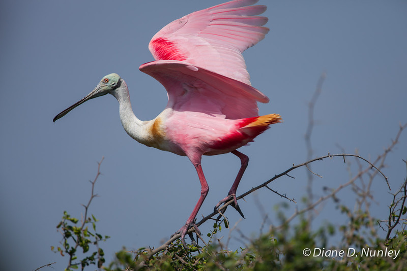 Roseate Spoonbill Trying to Balance with High Wind Roseate Spoonbill on Chester Island. <em>Photo credit: Diane D. Nunley<em>