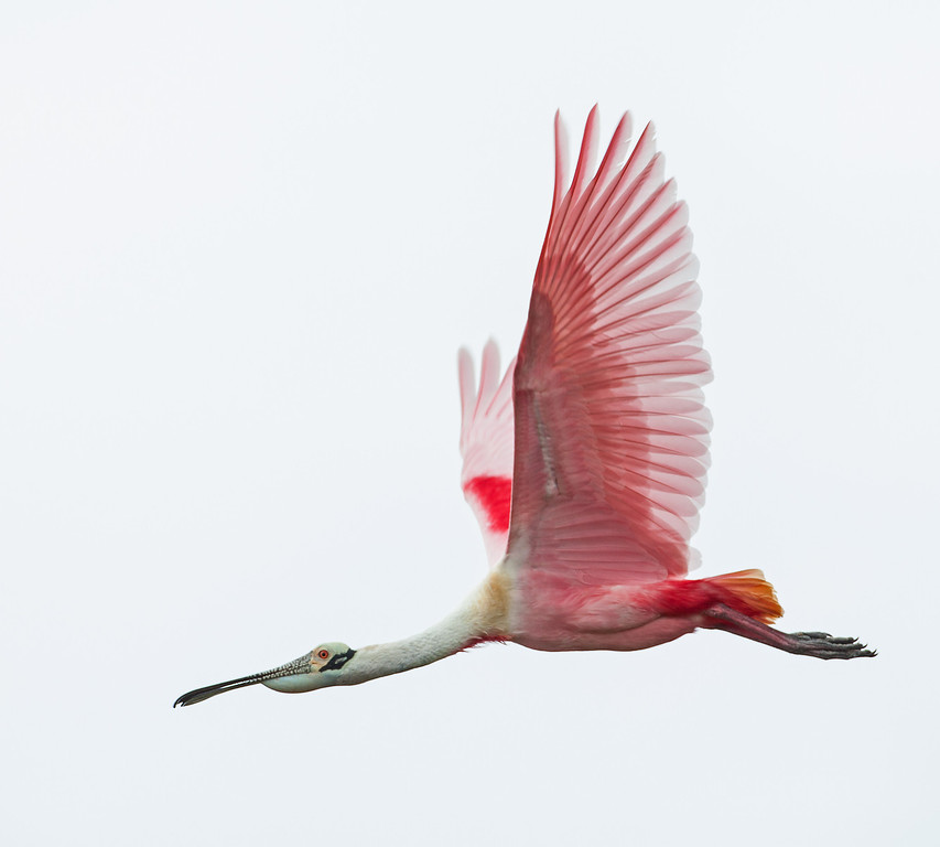 A Roseate Spoonbill in full breeding plumage. Most of the spoonbills observed were all at the height of their breeding plumage. <em>Photo credit: Diane D. Nunley</em></div>