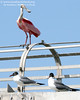 The Roseate Spoonbills seem to love the old towers. The one pictured here with the Laughing Gulls was the only one that didn't fly off when I approached. <em> Photo credit: Marcy Crowe Spears</em> </div>