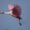 Roseate Spoonbill on Chester Island. <em>Photo credit: Diane D. Nunley<em>