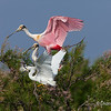 Roseate Spoonbills and a Snowy Egret (in front) on Chester Island. <em>Photo credit: Diane D. Nunley<em>