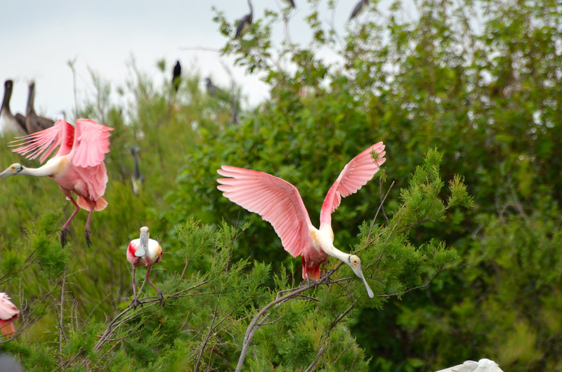 Roseate Spoonbills. <em>Photo credit: Peggy Wilkinson </em></div>