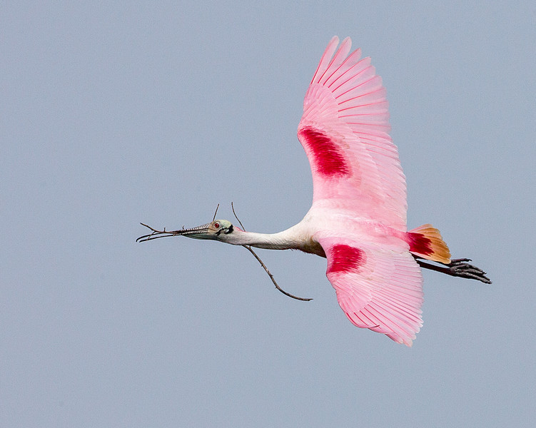 "<div align=""left"">This beautiful Roseate Spoonbill was captured by Diane Nunley as the bird flew over with nesting materials.  This bird is in full breading plumage. The Roseate's are not sitting on nests yet, but will be soon. <em>Photo credit: Diane D. Nunley</em></div>"