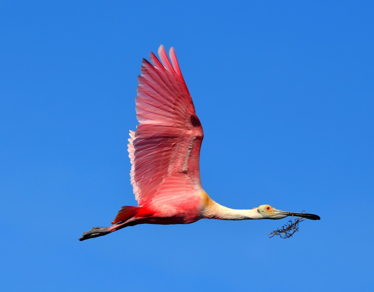 "<div align=""left"">This Roseate Spoonbill is definitely in breeding plumage—with bright pink feathers, golden shoulders, and tail feathers.  Roseates usually don't breed until their third year. <em>Photo credit: Peggy Wilkinson</em> </div>"