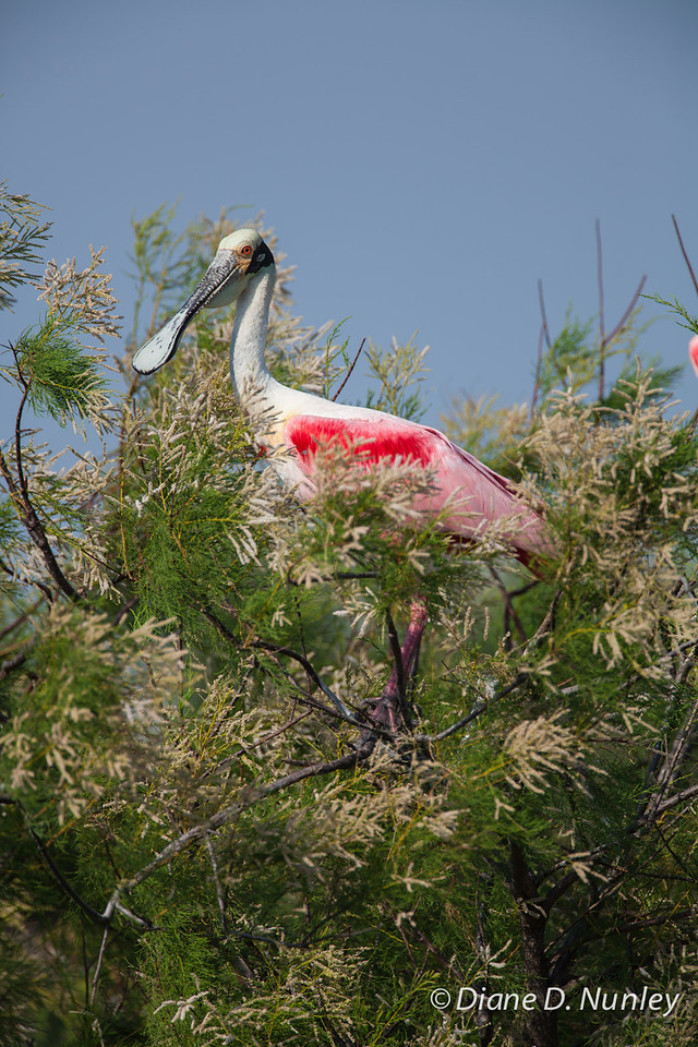 Roseate Spoonbill Roseate Spoonbill on Chester Island. <em>Photo credit: Diane D. Nunley<em>
