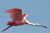 """<div align=""""left"""">Finally...I captured a flying Roseate Spoonbill. Most of the Roseate's like to hang out on the West side of the island. This one was flying across the field I was sitting in. <em>Photo Credit: May 2009, Marcy Spears.</em></div>"""
