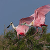 Roseate Spoonbill Coming in for a Landing Roseate Spoonbill on Chester Island. <em>Photo credit: Diane D. Nunley<em>