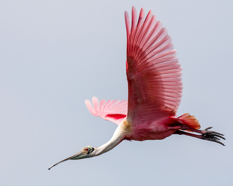 "<div align=""left"">This is another excellent view of a flying Roseate Spoonbill. Males and females have the same plumage but males are slightly larger with a longer bill. <em>Photo credit: Diane D. Nunley</em></div>"