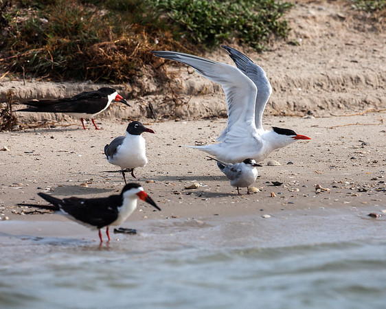 "<div align=""left"">This is a terrific assortment.  It makes it easier to identify some birds if you know what their relatively size is to each other.  The Black Skimmers (birds with orange and black beaks) are on the left. The bird between the two skimmers is a Laughing Gull coming into breeding plumage. The bird with wings stretched up is a Royal Tern (black toupee and orange bill).  The small bird in the front is a Forster's Tern.  In the winter Forster's loose their black cap and have a black eye-patch instead. During breeding season the black cap comes back, their bill turns orange and has a black tip—this one is not quite in breeding plumage yet. <em>Photo credit: Diane D. Nunley</em></div>"