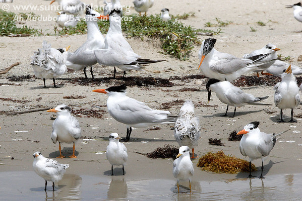 "I'm not sure what was going on here, but it looked like a ""face-off"" between the two young Royal Terns and a chick witnessing the event (upper left corner)."