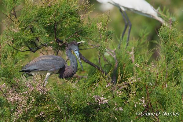 Tri-colored Heron Tri-colored Heron on Chester Island. <em>Photo credit: Diane D. Nunley<em>