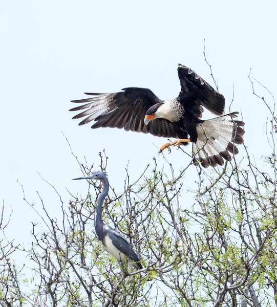 Crested Caracara landing very close to a Tricolored Heron.  It was not attacking the heron, but it sure looks like it in this photo. <em>Photo credit: Tim Wilkinson</em></div>