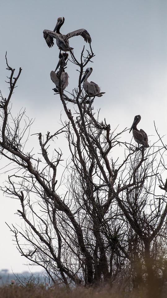 Adult Brown Pelicans loafing on a dead tree. <em>Photo credit: Diane D. Nunley</em></div>
