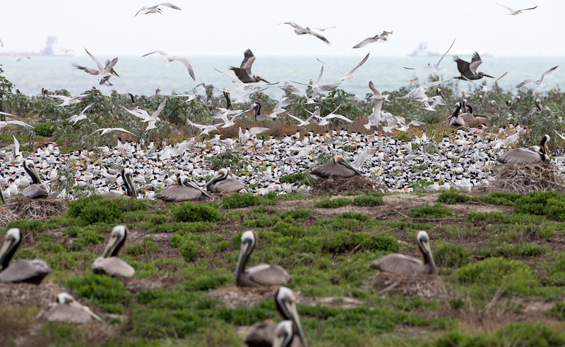 Brown Pelicans share nesting space with Royal Terns and Sandwhich Terns.  There were about 2,000 terns nesting.  About half were Royals and half were Sandwich. There were more pelicans on the top of the hill and another large grouping of terns. <em>Photo credit: Diane D. Nunley</em></div>