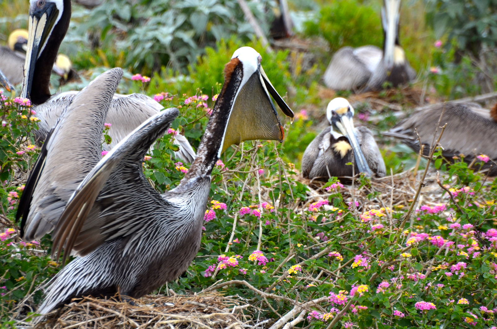 In years when the island gets enough rain, the Lantana can be prolific. Brown Pelicans love the nest in, around, and on top of the Lantana. <em>Photo credit: Peggy Wilkinson</em></div>