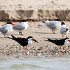 """<div align=""""left"""">Diane reported seeing about 26 Black Skimmers (the black-and-white birds in the front—with the """"banana boat"""" type beak)—but no nests yet. The skimmers and the Royal Terns were seen on the beach from the boat. Peggy said that Audubon may be interested in doing a study. <em>Photo credit: Diane D. Nunley</em></div>"""