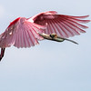 """<div align=""""left"""">EVERYONE LOVES SPOONBILLS! If you look at a larger version of this Roseate Spoonbill you will see a clear view of its rather prehistoric head. Also note that the bird's feathers are somewhat worn and disheveled. Tough spring? <em>Photo credit: Diane D. Nunley</em> </div>"""