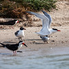 """<div align=""""left"""">This is a terrific assortment.  It makes it easier to identify some birds if you know what their relatively size is to each other.  The Black Skimmers (birds with orange and black beaks) are on the left. The bird between the two skimmers is a Laughing Gull coming into breeding plumage. The bird with wings stretched up is a Royal Tern (black toupee and orange bill).  The small bird in the front is a Forster's Tern.  In the winter Forster's loose their black cap and have a black eye-patch instead. During breeding season the black cap comes back, their bill turns orange and has a black tip—this one is not quite in breeding plumage yet. <em>Photo credit: Diane D. Nunley</em></div>"""
