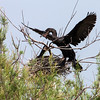 """<div align=""""left"""">The Neotropic Cormorant mate coming in to swap on the nest.  Note the length of the bird's neck. Cormorants are often seen on exposed perches, e.g. dock posts or dead stumps, with their wings spread out to dry their feathers. <em>Photo credit: Diane D. Nunley</em></div>"""