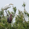 """<div align=""""left"""">On top is a Great Egret.  These were one of Chester Smith's favorite birds.  He named all of the Audubon boats used to service the island after the Egrets. The bird below is a Reddish Egret.<em>Photo credit: Diane D. Nunley</em></div>"""