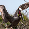 """<div align=""""left"""">The wingspan of an adult Brown Pelican is 6 1/2 feet and weigh about 8 pounds. <em>Photo credit: Diane Nunley</em></div>"""
