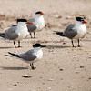 """<div align=""""left"""">The Royal Terns (the ones with the bright orange beaks and the brillant black toupees) are hanging out on the beach with the Sandwich Tern—center front, with a black beak that looks like it has been dipped in mustard—ergo """"Sandwich Tern ;-). <em>Photo credit: Diane D. Nunley</em></div>"""